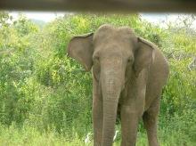 Elephant.Yala