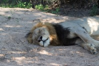 Lion. Thornybush Game Reserv