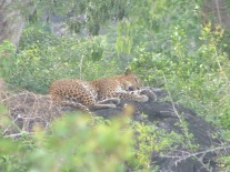Sleeping leopard.Yala
